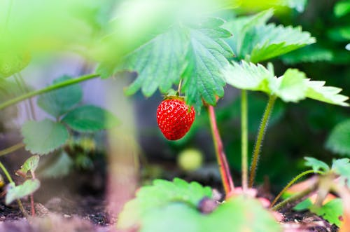 Selective Focus Photography of Red Strawberry Fruit