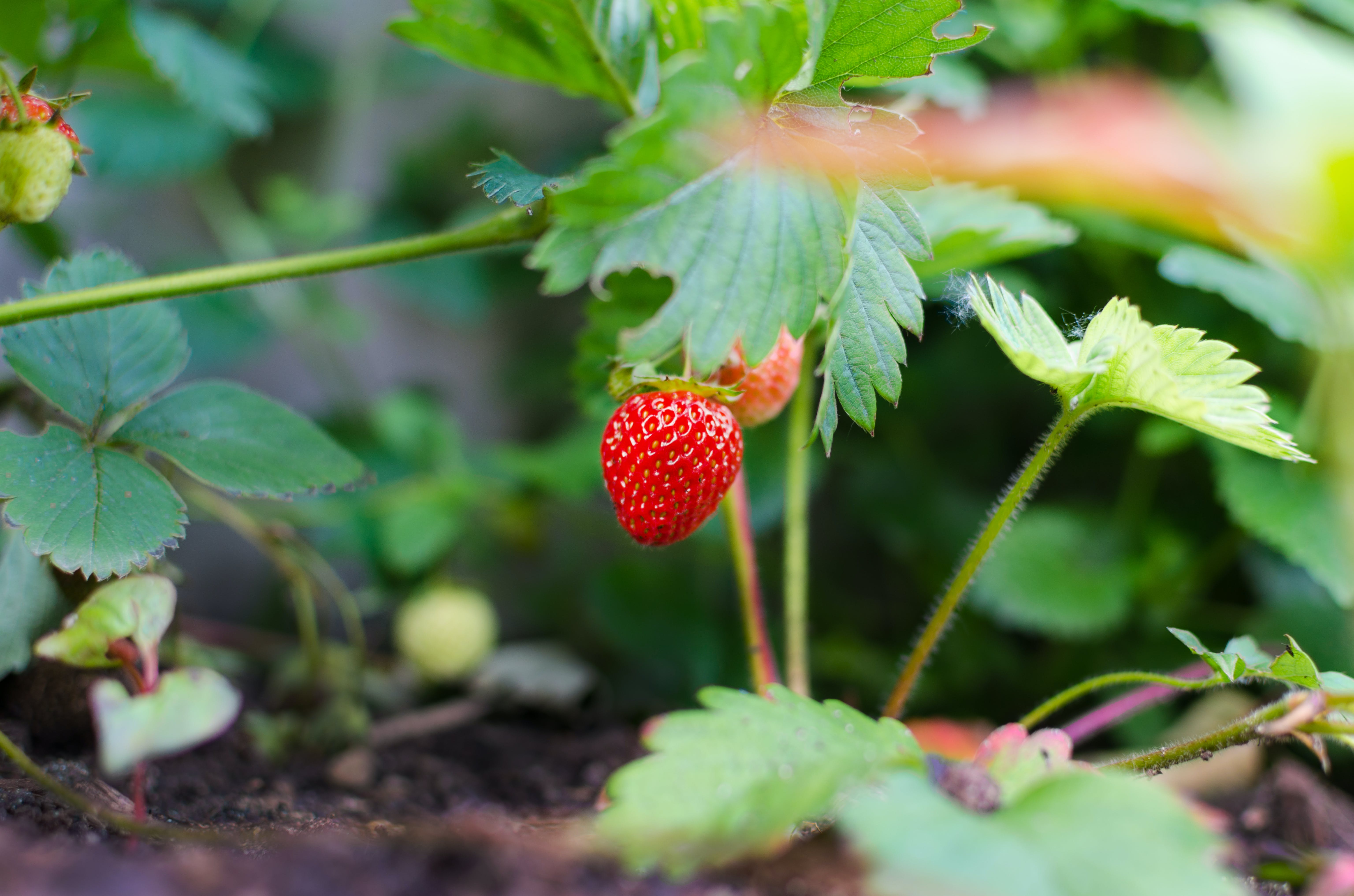Selective Focus Photography of Strawberry Fruit