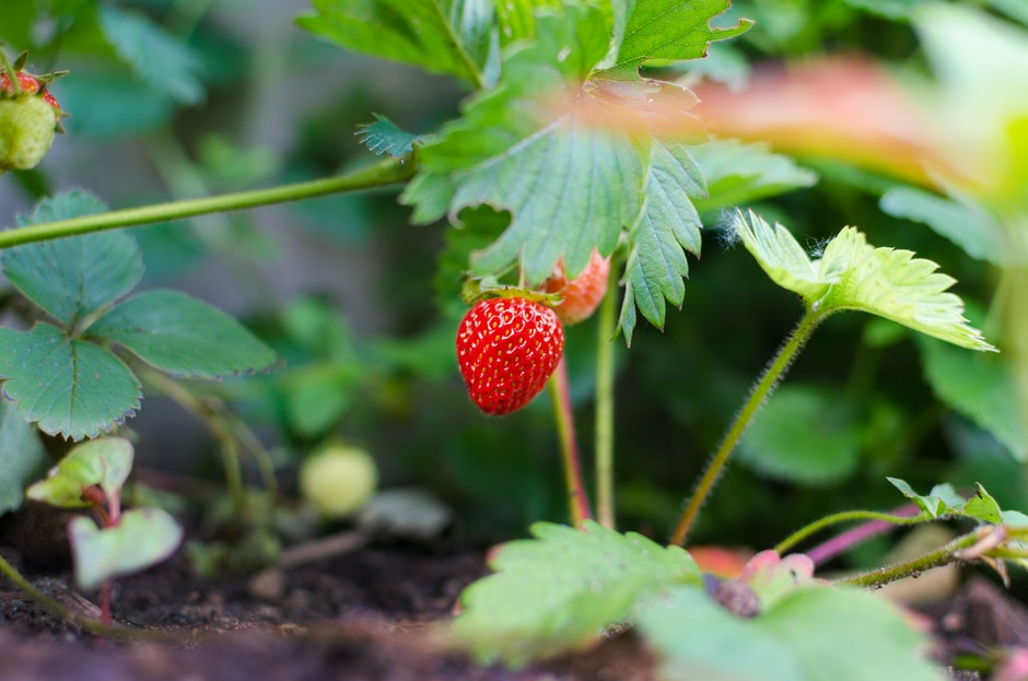 agriculture, berry, close-up