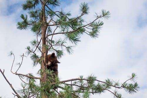 Foto profissional grátis de árvore, árvore de escalada, bebê, bebê urso