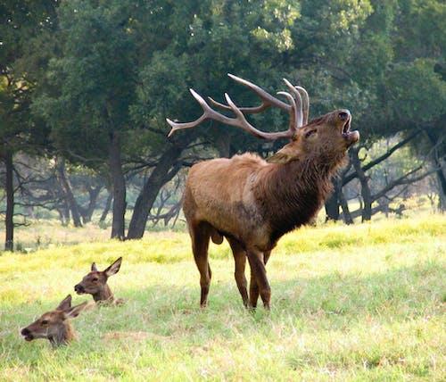 Free stock photo of deers, roar