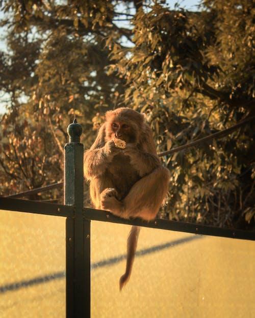 Brown Monkey Eating Food