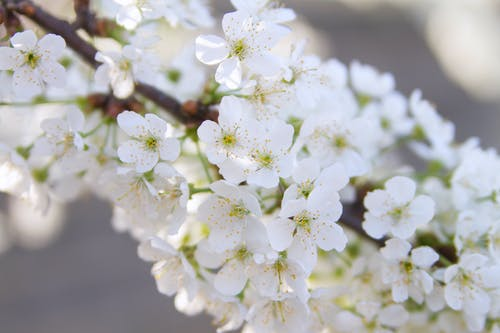 Fotobanka sbezplatnými fotkami na tému Apple, bracha, čerešňa, čerešňový kvet