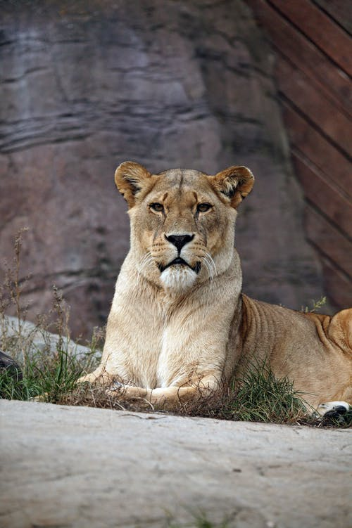 Ilmainen kuvapankkikuva tunnisteilla eläin, eläinkuvaus, kissa, leijona