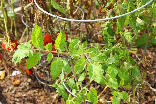 Free stock photo of fresh vegetables, garden, garden vegetables, green