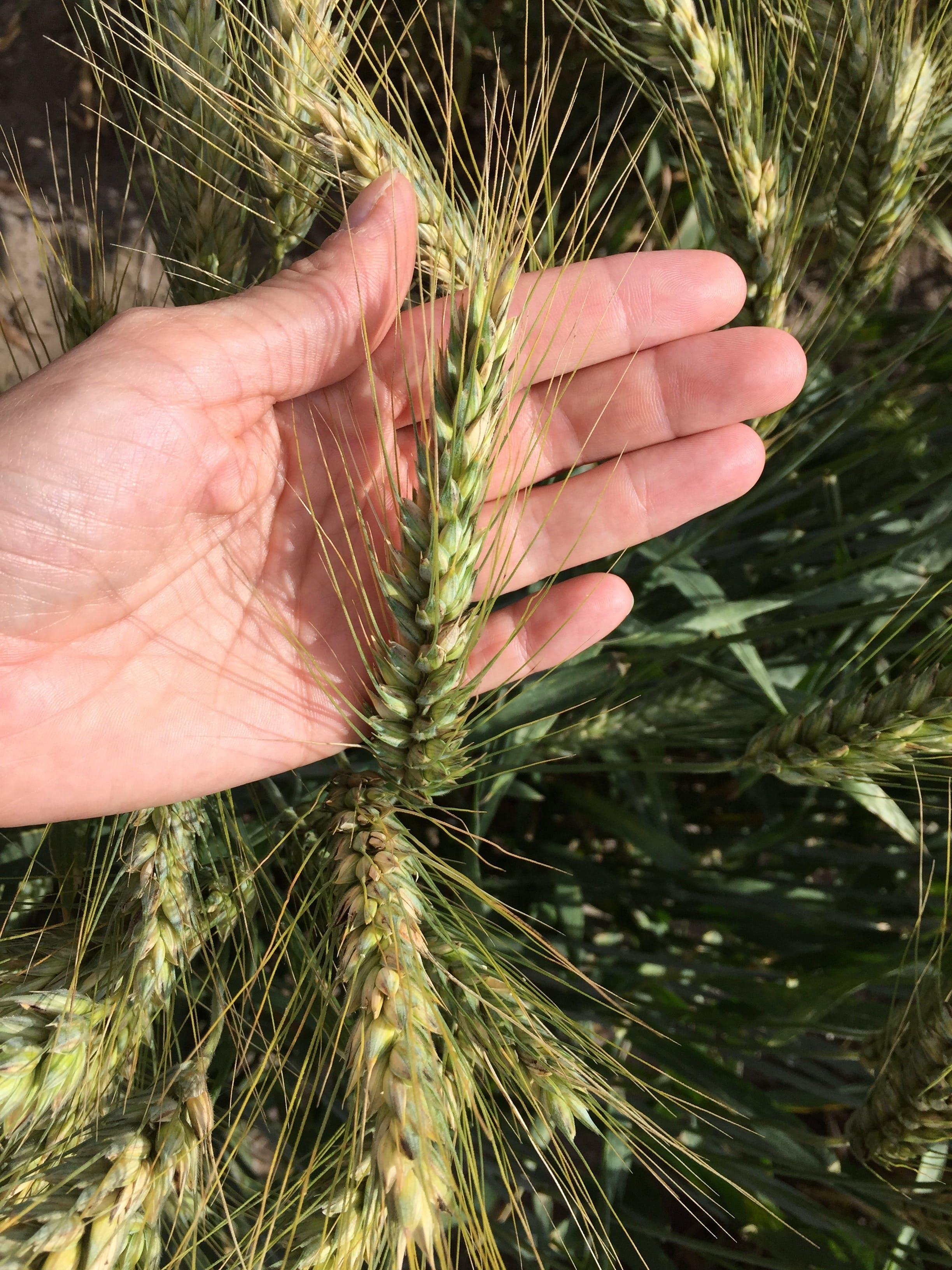 Gratis arkivbilde med hvete, kvinnes hånd, øre