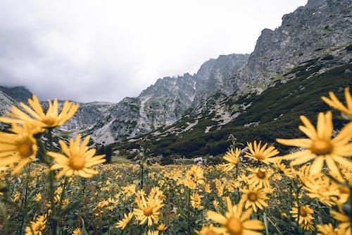Δωρεάν στοκ φωτογραφιών με vysoke tatry, ανθίζω, άνθος, βουνό