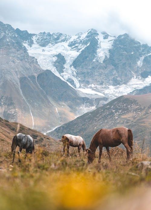 Imagine de stoc gratuită din adâncime de câmp, afară, Alpi, animale