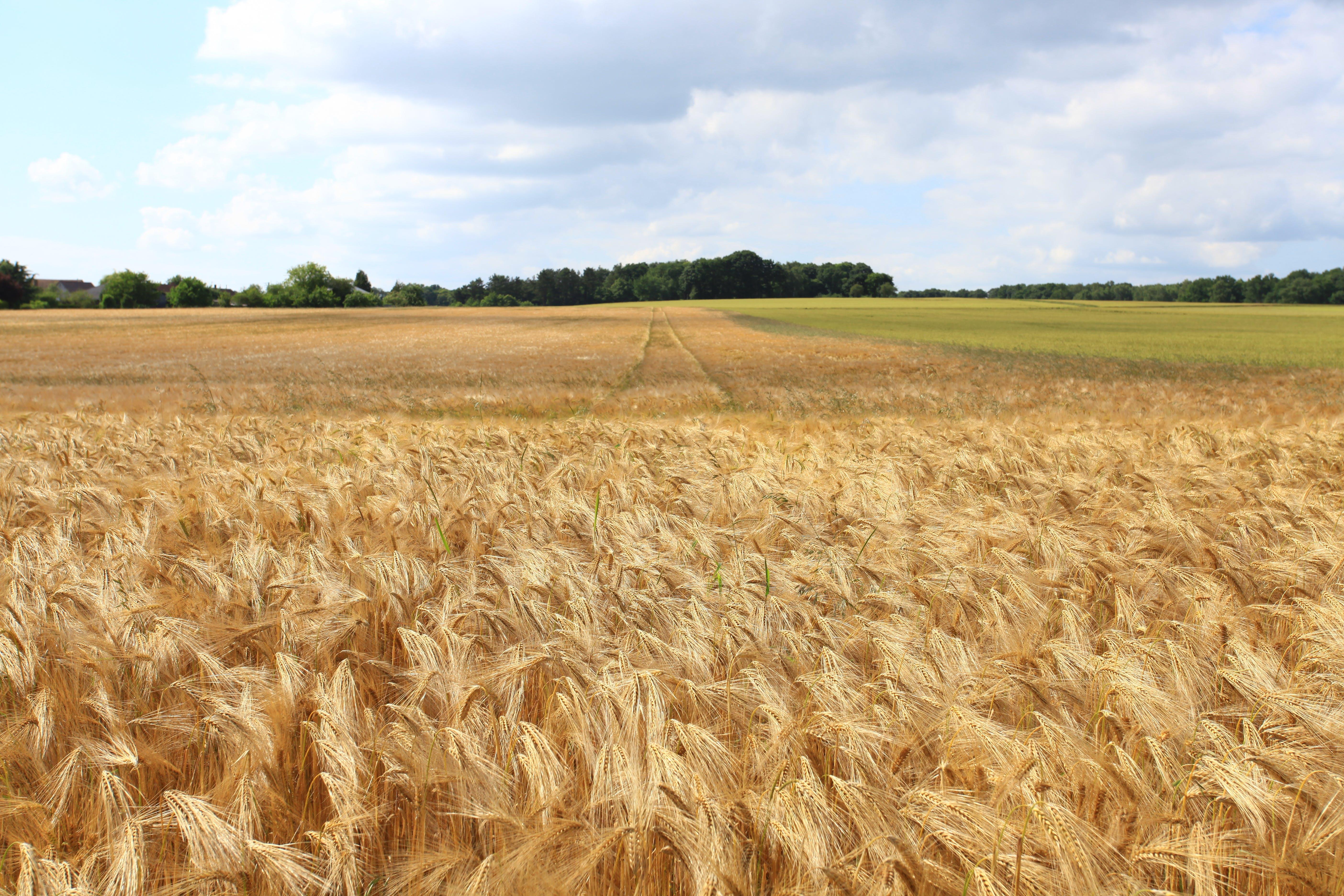 Foto d'estoc gratuïta de arbres, blat, blat de moro, camp