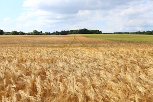 Foto profissional grátis de área, árvores, aumento, campo de trigo