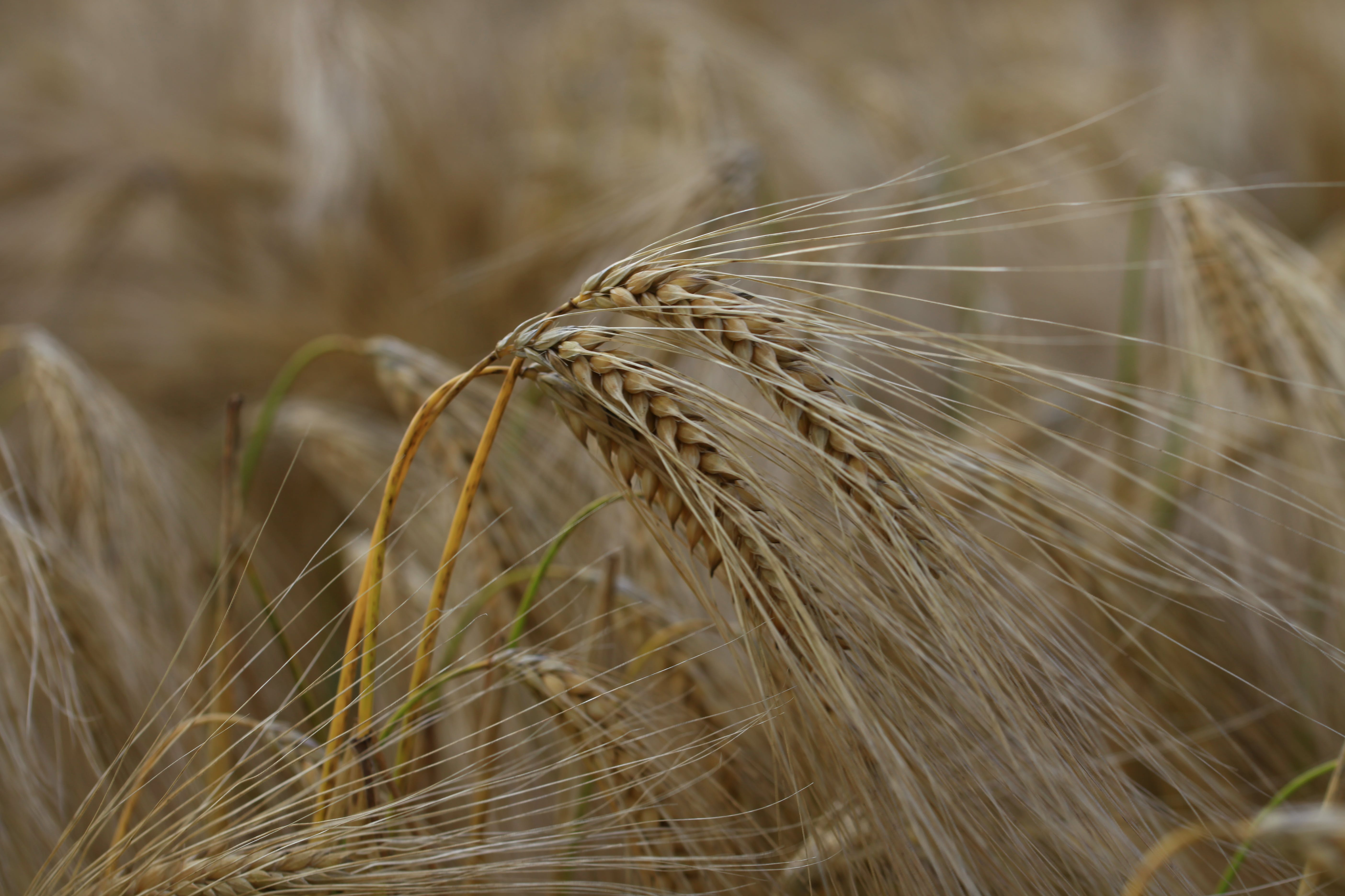 Selective Focus Photography of Brown Paddy