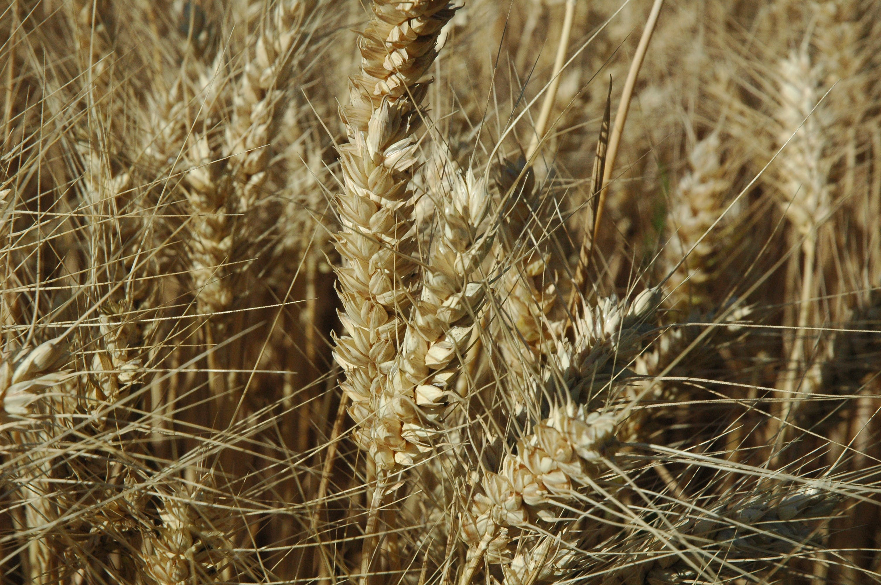 Gratis arkivbilde med hvete, øre