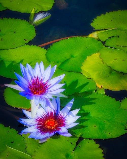 Ilmainen kuvapankkikuva tunnisteilla lilja, lumpeet