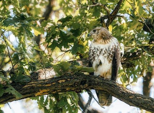 ファルコン, 鷹の無料の写真素材
