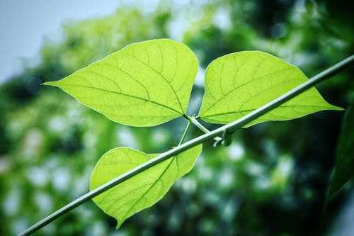 Free stock photo of Bean leaf, green leaf, leaf, nature