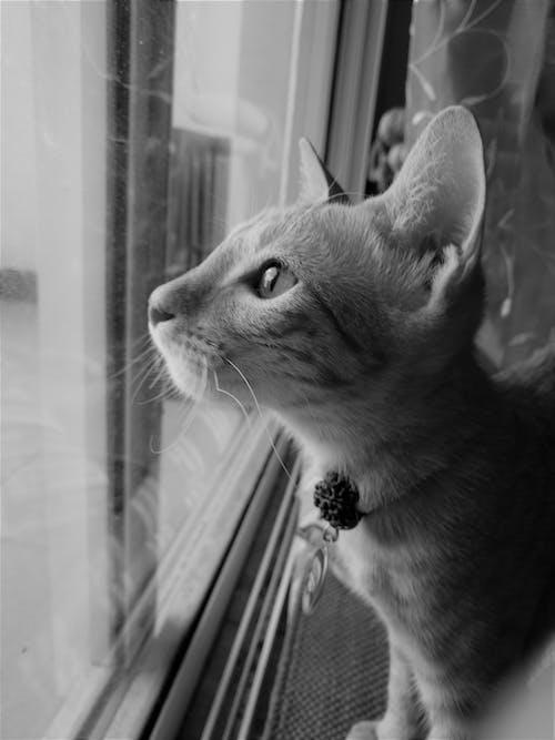 Fotos de stock gratuitas de blanco y negro, gatito, gato, lindo animal