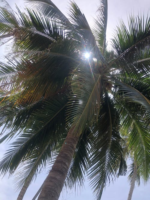 Free stock photo of coconut tree, degan, seger