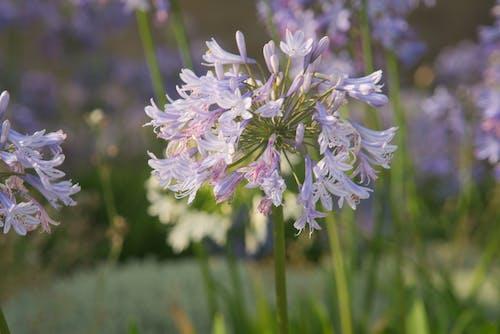 Gratis arkivbilde med bleu, botanique, boule, fleur