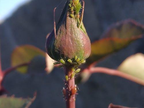 Gratis stockfoto met bloeiende rozen, insectenfotografie