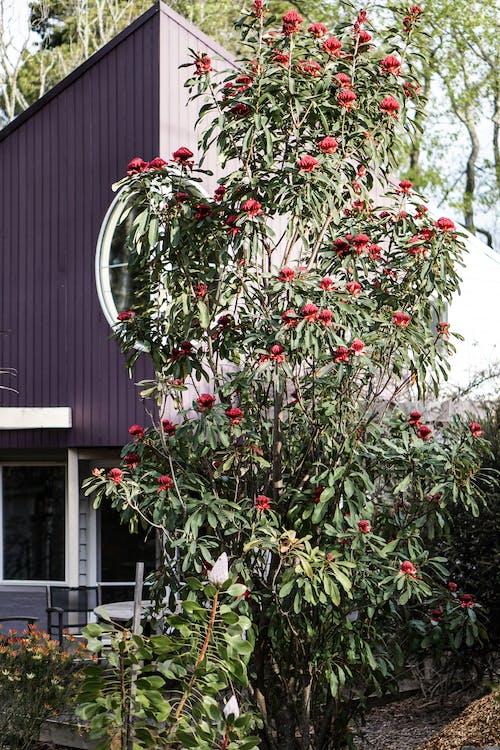Foto stok gratis berbunga, bunga merah, flora, halaman