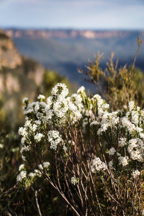 Foto d'estoc gratuïta de enfocament selectiu, flora, flors, flors blanques