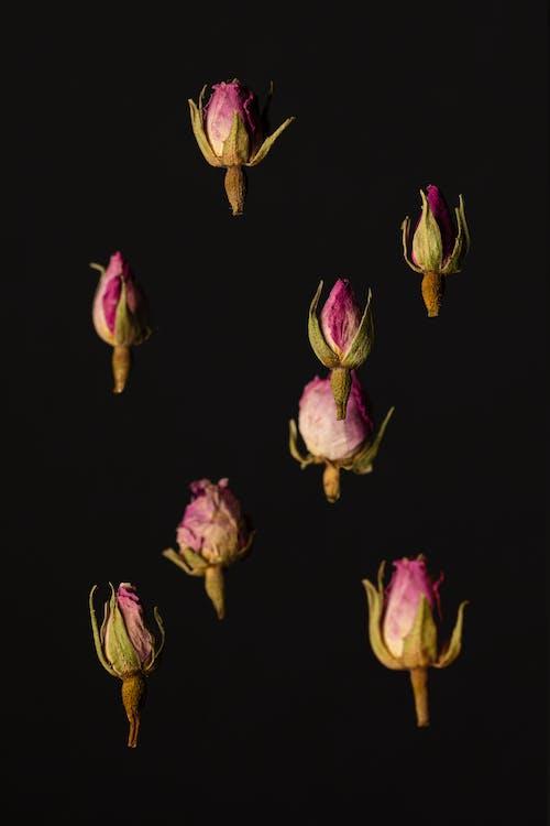 검은색 배경, 꽃, 꽃봉오리, 꽃이 피는의 무료 스톡 사진