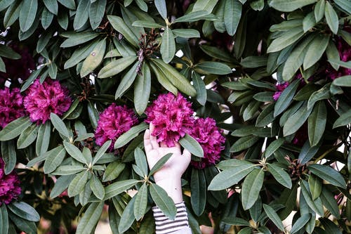 Person Touching Pink Flowers