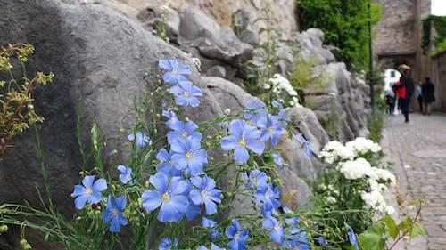 Бесплатное стоковое фото с голубой, природа, рок, цветок