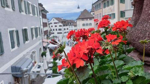 Бесплатное стоковое фото с город, красный, природа, цветок
