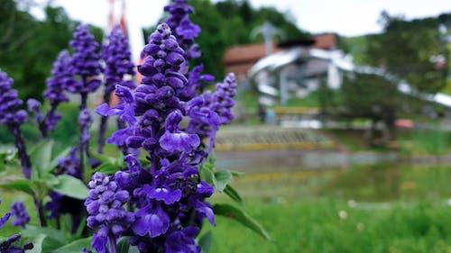 Бесплатное стоковое фото с весна, дельфиниум, природа, пурпурный