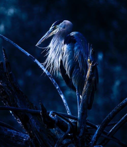 Бесплатное стоковое фото с большая голубая цапля, голубой, птица