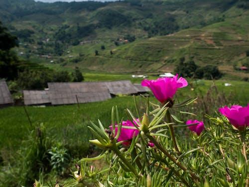 Fotos de stock gratuitas de azotea, campo de arroz, flor, montaña