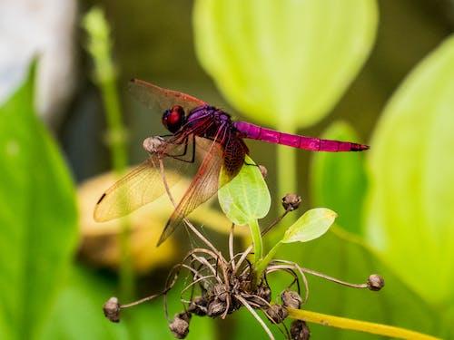 Fotos de stock gratuitas de alas, flor, libélula, rojo