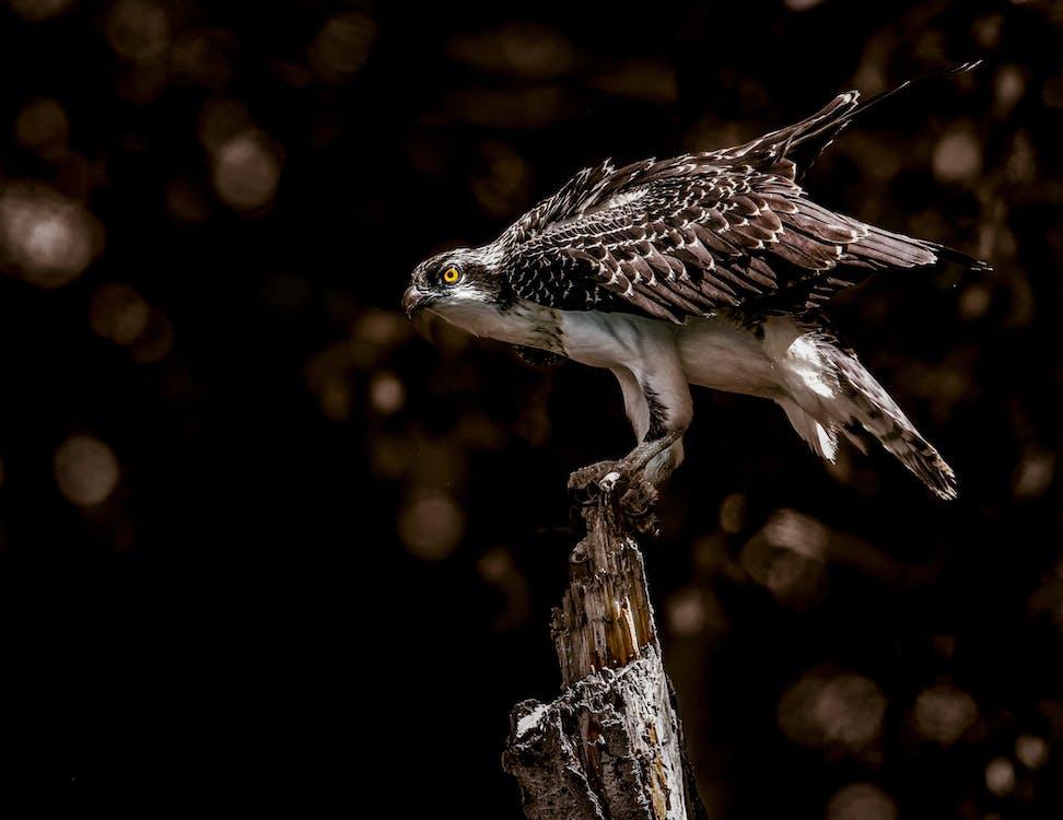 깃털, 나무, 날개