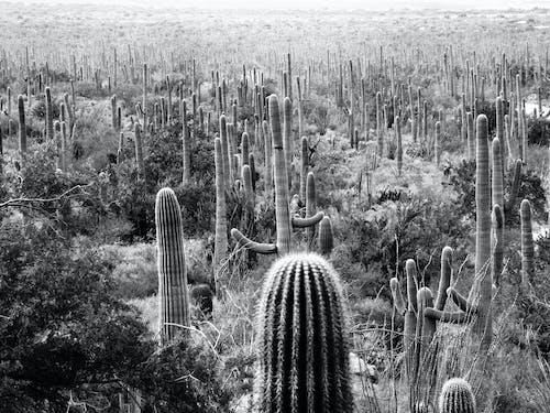 Δωρεάν στοκ φωτογραφιών με sonoran desert, Αριζόνα, κάκτος