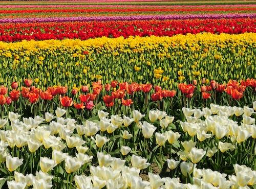 Photos gratuites de tulipes
