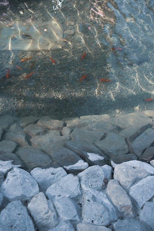 Ingyenes stockfotó hal, kövek, tavacska, víz témában