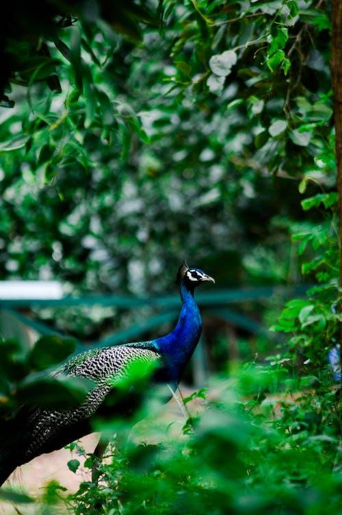 Ingyenes stockfotó madarak, páva témában