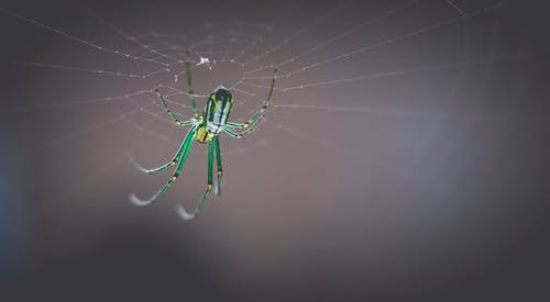 Green and Black Orb Weave Spider
