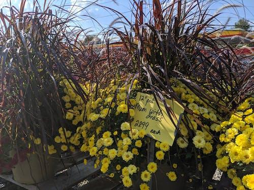 Kostenloses Stock Foto zu blumenmarkt, chrysantheme, gras, mums