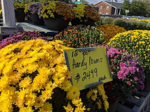 Kostenloses Stock Foto zu chrysantheme, mums