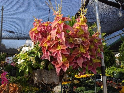 Kostenloses Stock Foto zu coleus, geprüft, hängende pflanze