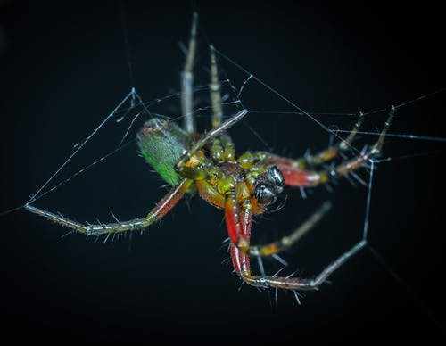 Webbing Green and Red Spider