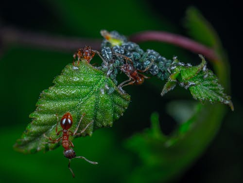 Red Ants On Green Leaf