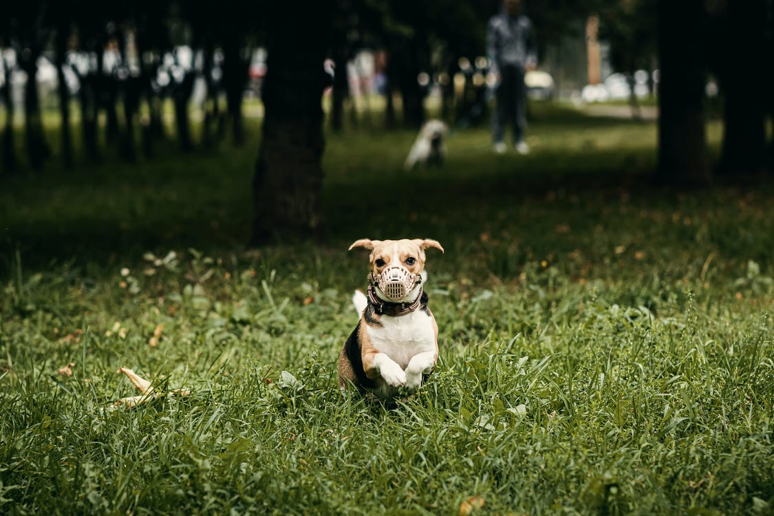 Selective Focus Photo of Dog in Muzzle Running on Grassy Field