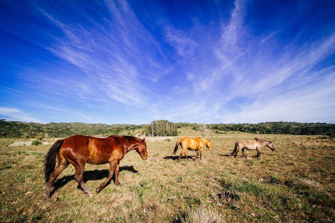 Three Brown, Yellow, and Gray Horses at Field