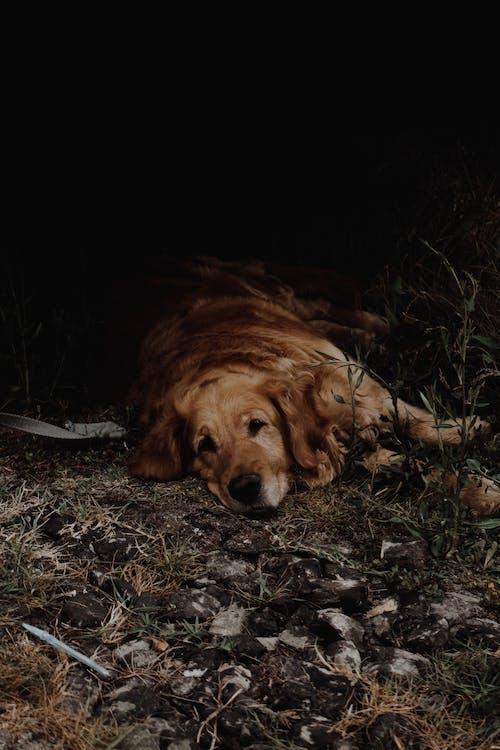 Бесплатное стоковое фото с домашнее животное, животное, коричневая собака, Лежа