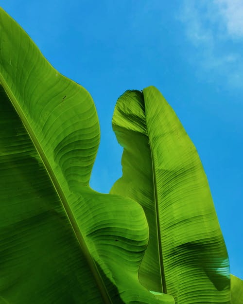 Green Banana Leaves Under Blue Sky