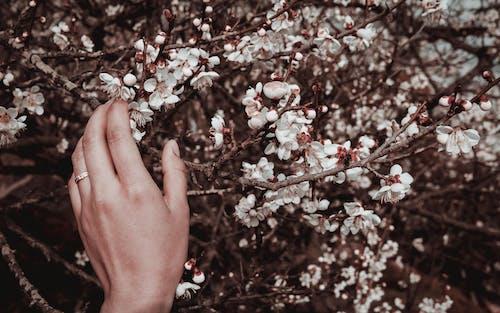 คลังภาพถ่ายฟรี ของ ดอกไม้ฤดูใบไม้ผลิ, มือ