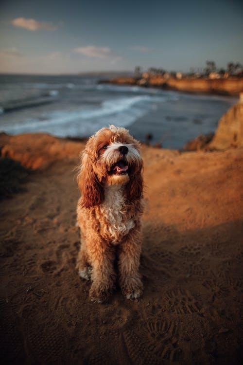 Langharige Bruine Hond